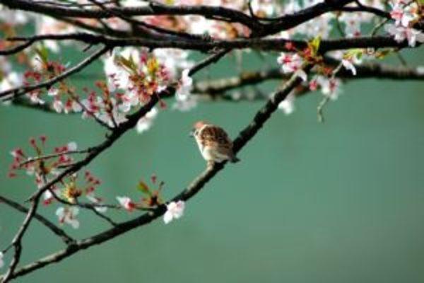 かんじんや丈乃丞のつぶやきー 如月 春分初候:雀始巣(すずめはじめてすくう)