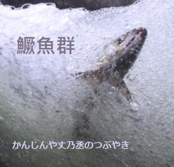 かんじんや丈乃丞のつぶやき ー師走 大雪 末候:鱖魚群(さけのうおむらがる)